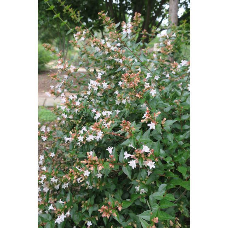 Abelia grandiflora Keiser Ruby Anniversary