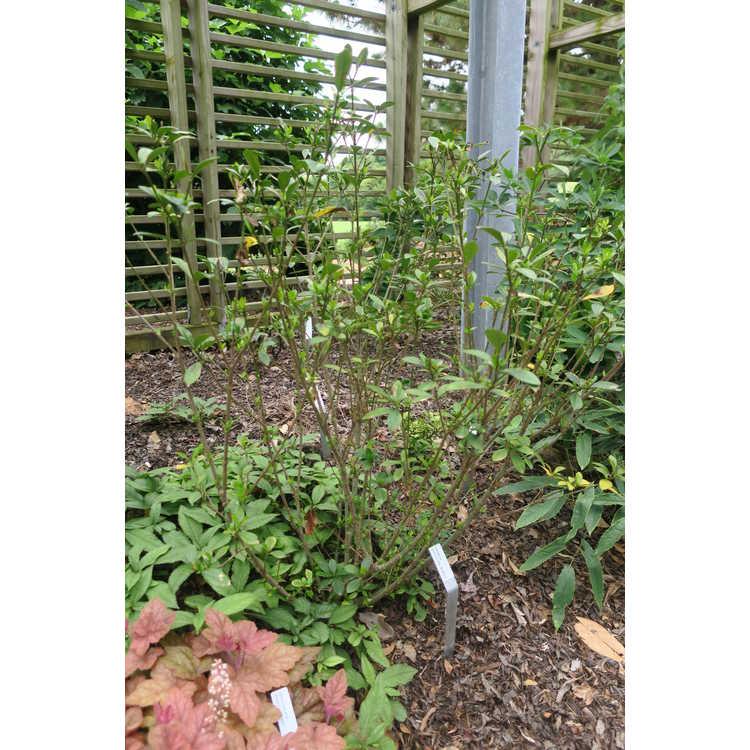Gardenia jasminoides 'Buttons' - compact gardenia