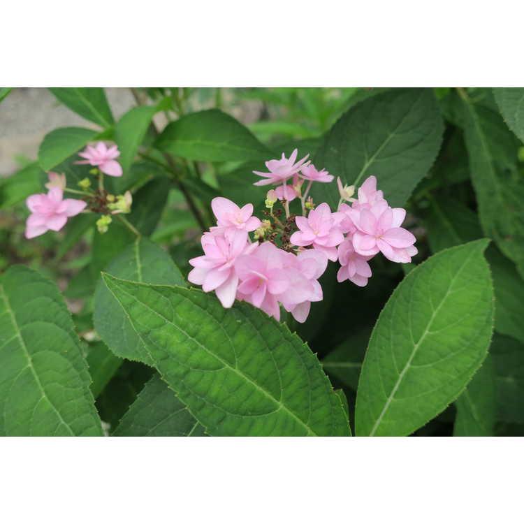 Hydrangea serrata 'Shichidanka Nishiki'