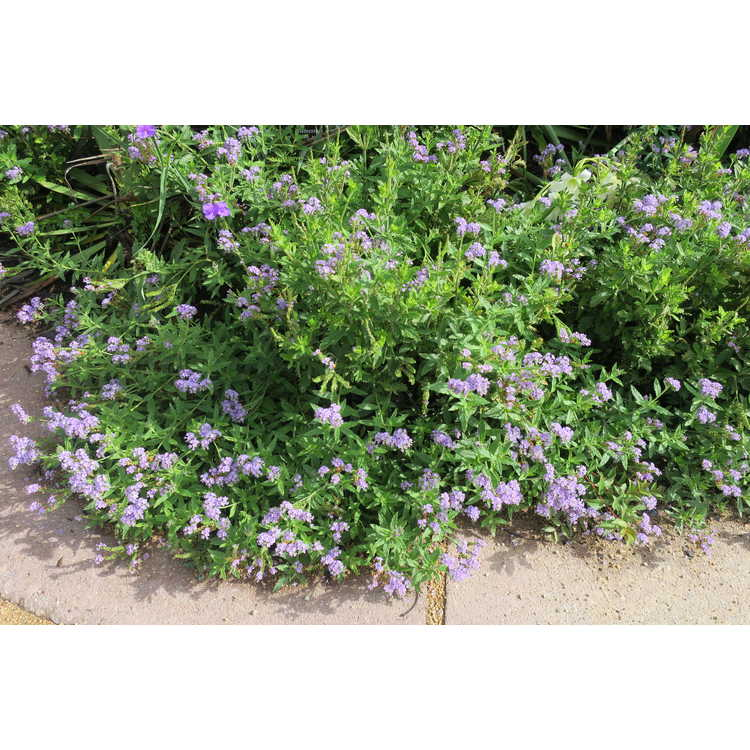Verbena 'Lavender Frappe'