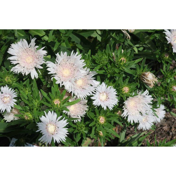 Stokesia laevis 'Traumerei' - white Stokes' aster
