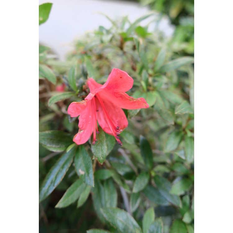 Rhododendron Alexander