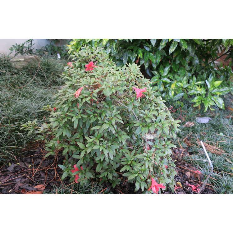 Rhododendron 'Alexander' - North Tisbury hybrid azalea