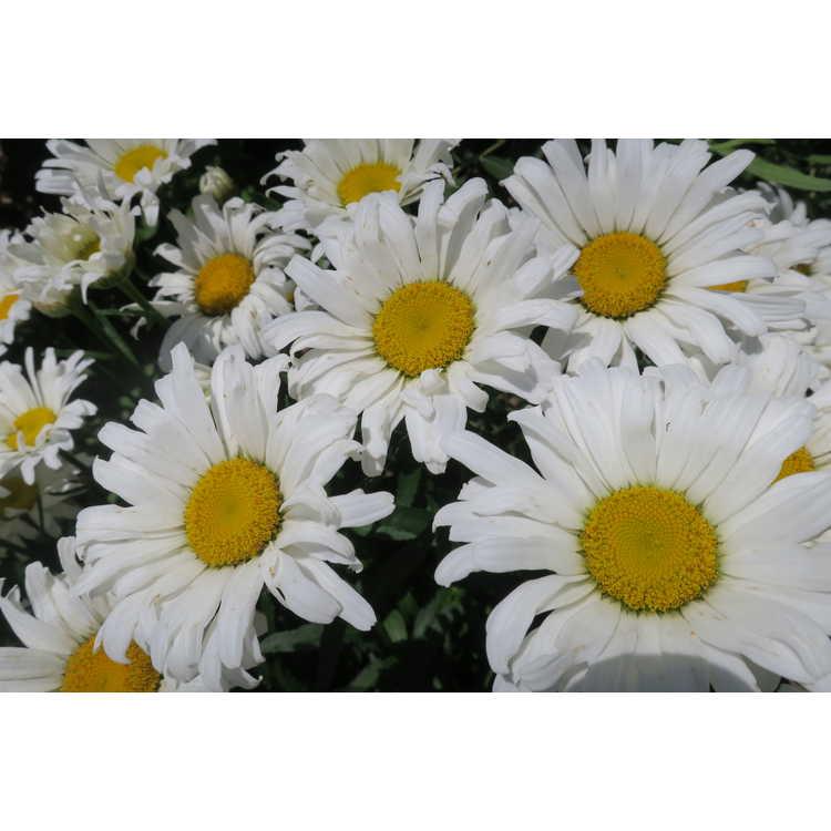 Leucanthemum ×superbum 'Daisy Duke'