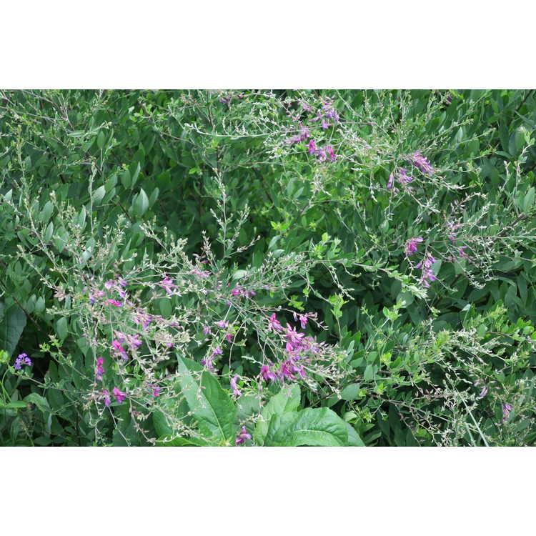 Lespedeza thunbergii 'Spring Grove' - bush-clover