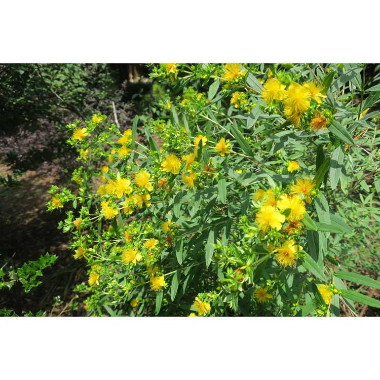 Hypericum kalmianum 'Ames'