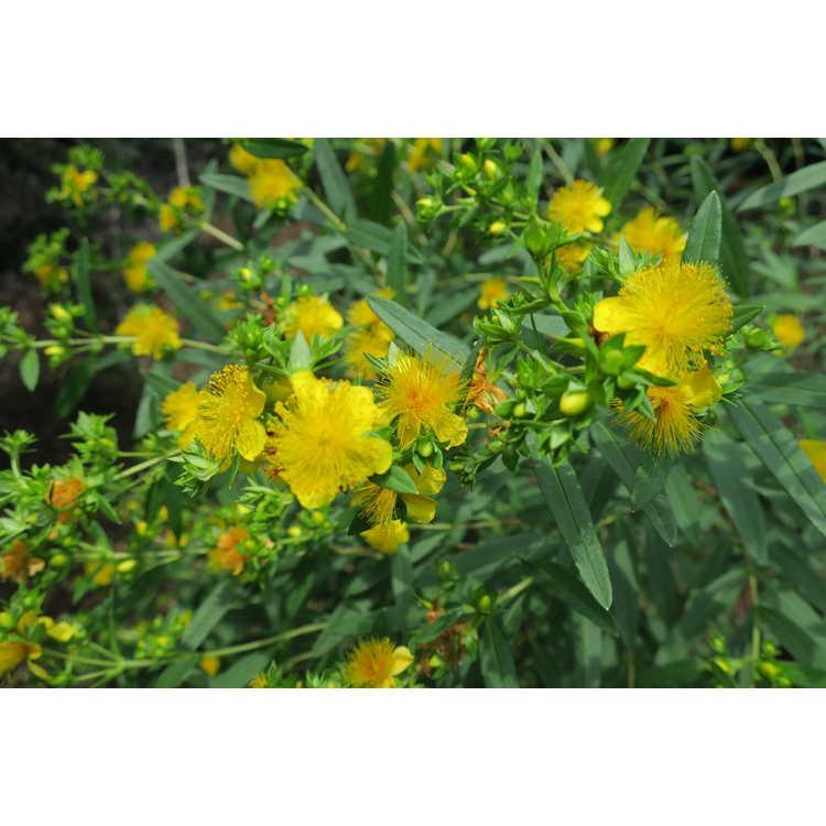 Hypericum kalmianum 'Ames' - Kalm's St. John's-wort