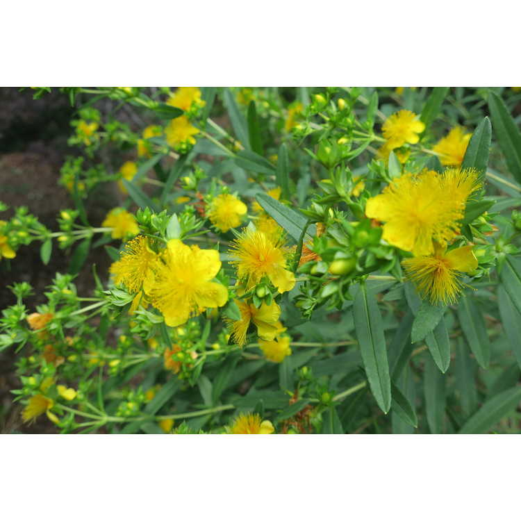 Hypericum kalmianum Ames
