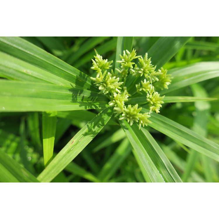 Cyperus albostriatus 'Nanus' - dwarf umbrella plant