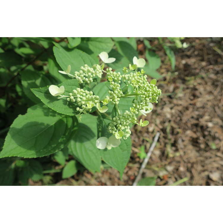 Hydrangea paniculata Wims Red Fire and Ice