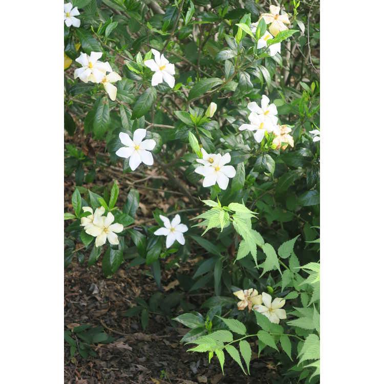 Gardenia jasminoides 'Shooting Star'