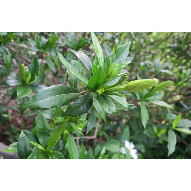 Gardenia jasminoides 'Shooting Star' - Cape jessamine