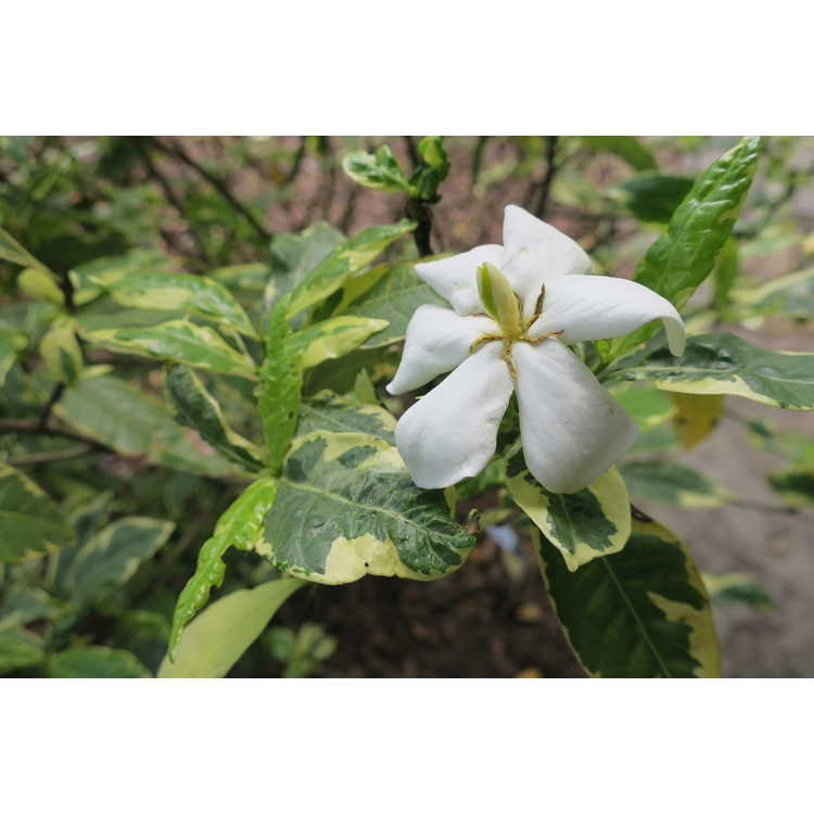 Gardenia jasminoides (variegated, single flower)