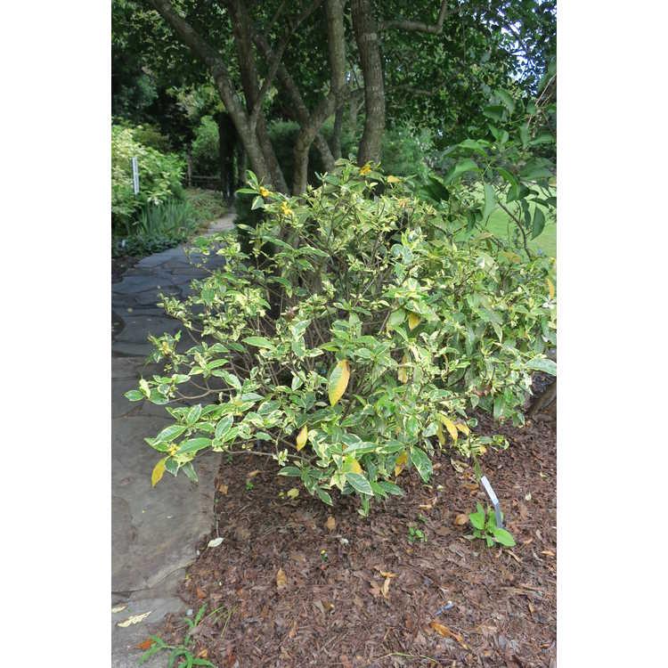 Gardenia jasminoides variegated, single flower
