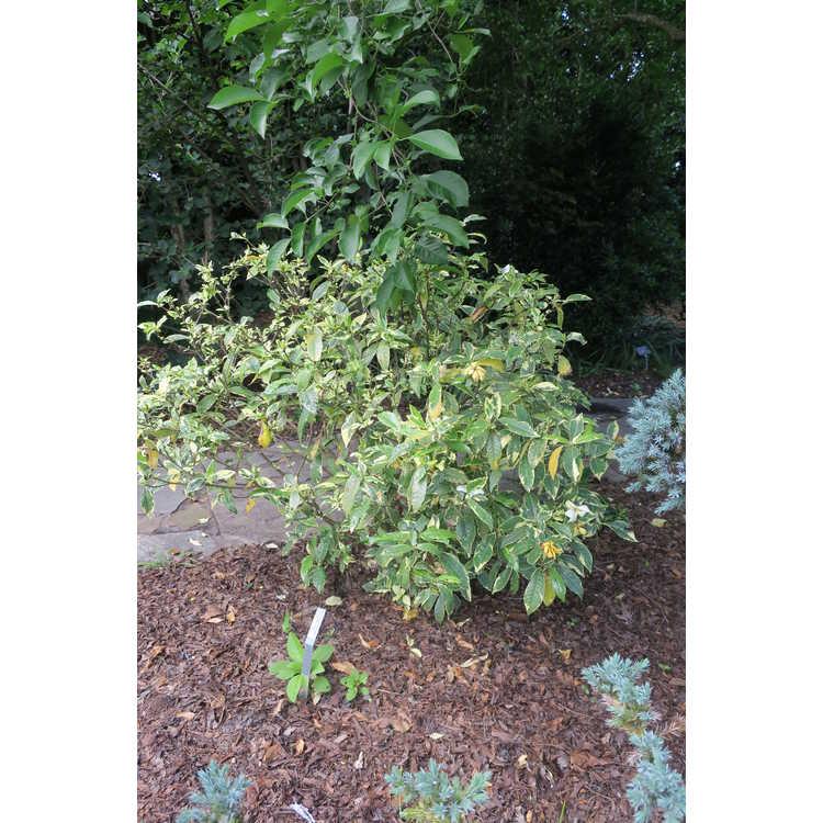 Gardenia jasminoides (variegated, single flower)