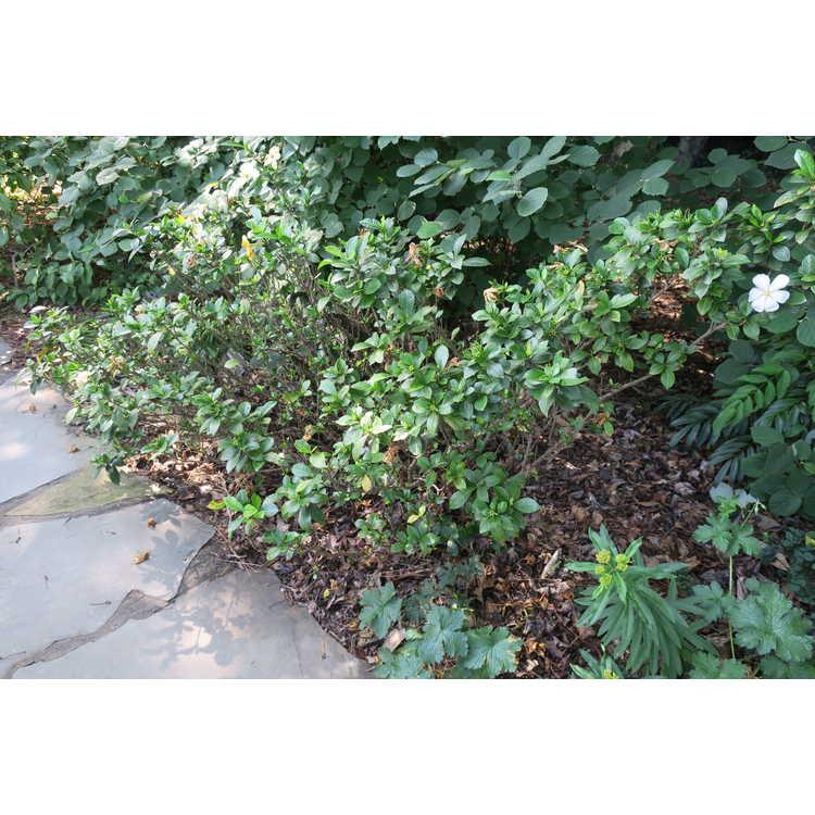 Gardenia jasminoides 'White Gem'