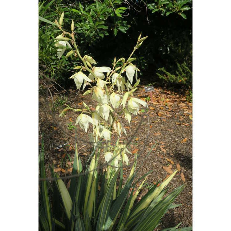 Yucca filamentosa Vivacious