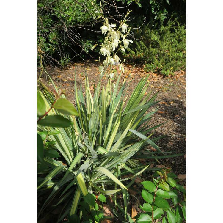 Yucca filamentosa 'Vivacious' - variagated Adam's needle