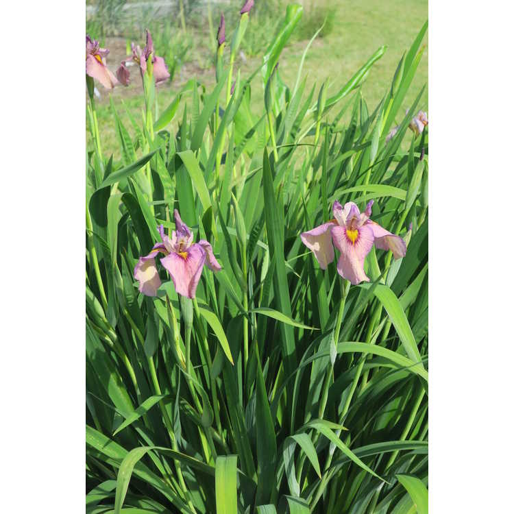 Iris 'Yasha' - pseudata iris
