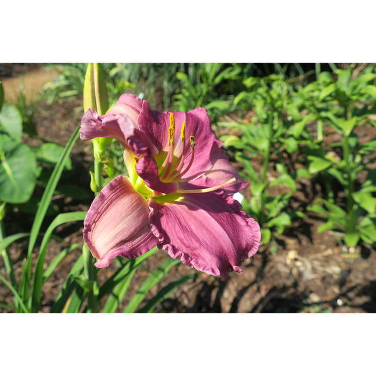 Hemerocallis 'Hint of Blue' - daylily