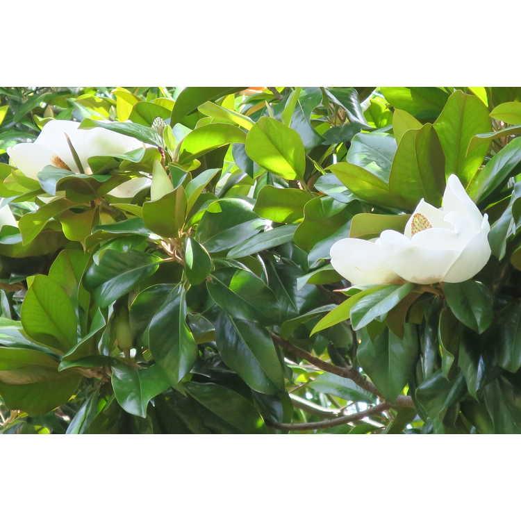 Magnolia grandiflora Southern Pride