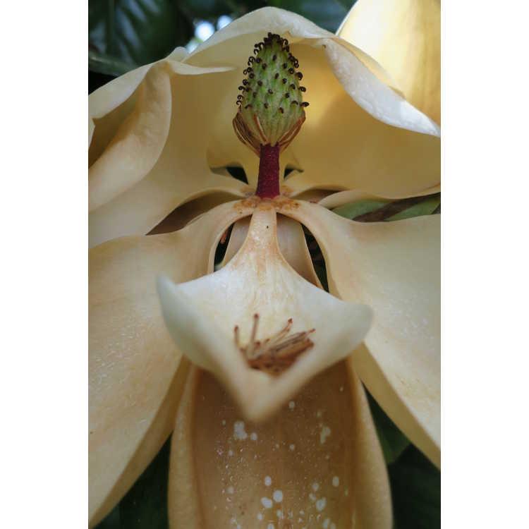 Magnolia grandiflora 'Southern Pride' - Southern magnolia