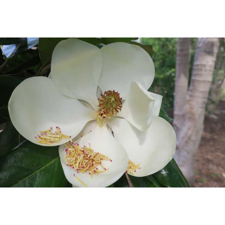 Magnolia grandiflora 'Goliath'