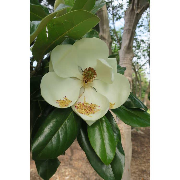 Magnolia grandiflora Goliath