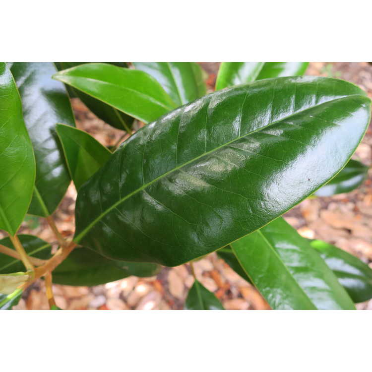Magnolia grandiflora 'Ferruginea' - Southern magnolia