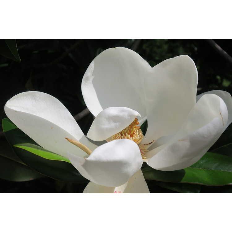 Magnolia grandiflora Emerald Spire
