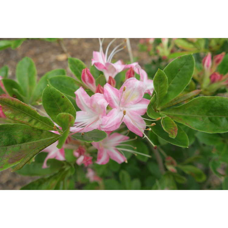 Rhododendron Ribbon Candy