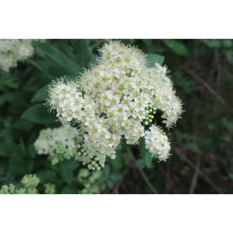 Spiraea virginiana - Virginia meadowsweet