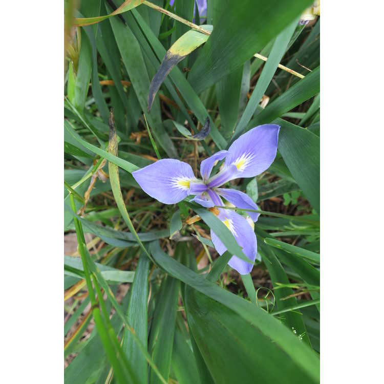 Iris brevicaulis - zig zag iris