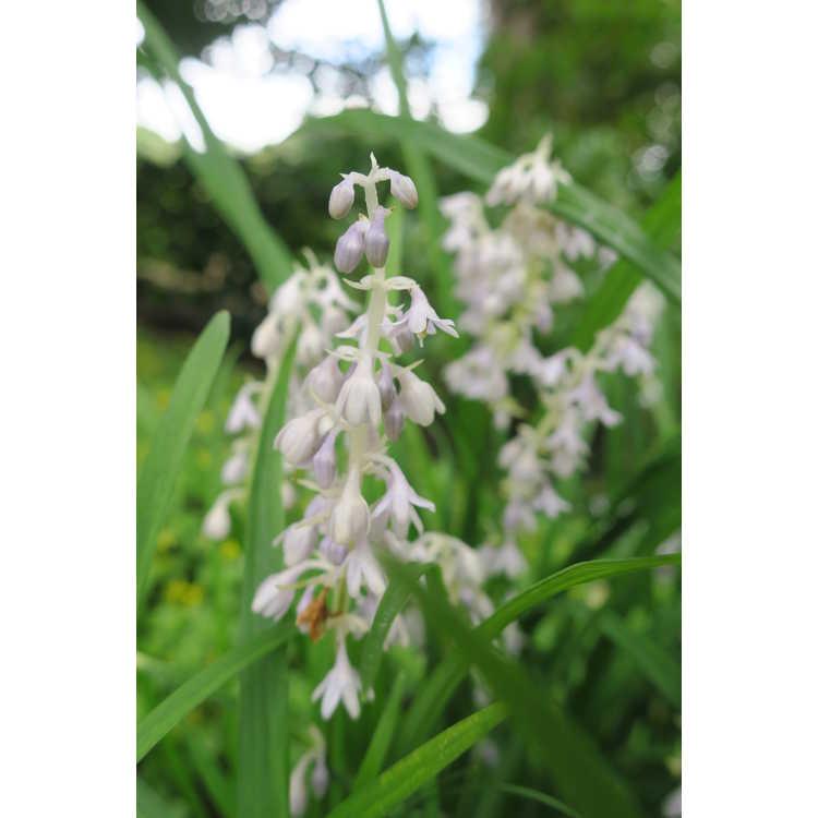 Ophiopogon graminifolius