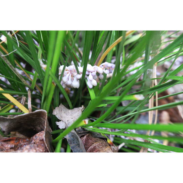 Ophiopogon jaburan Tuff Tuft Lavender