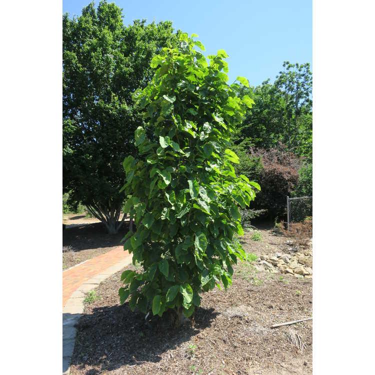 Magnolia ×brooklynensis 'Black Beauty' × (M. 'Toro' × M. 'Gorgeous') - hybrid magnolia