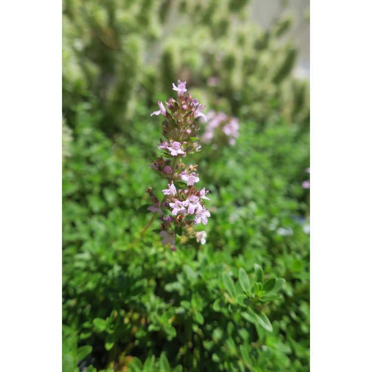 Thymus zygis - Spanish thyme