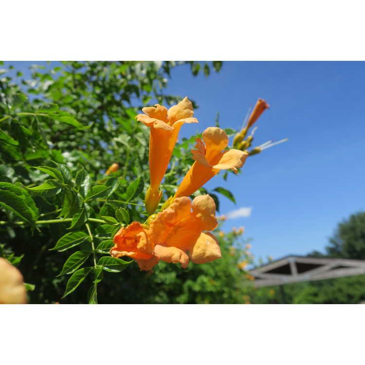 Campsis radicans (Bahama yellow) - trumpet vine