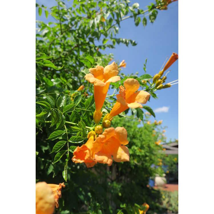 Campsis radicans Bahama yellow
