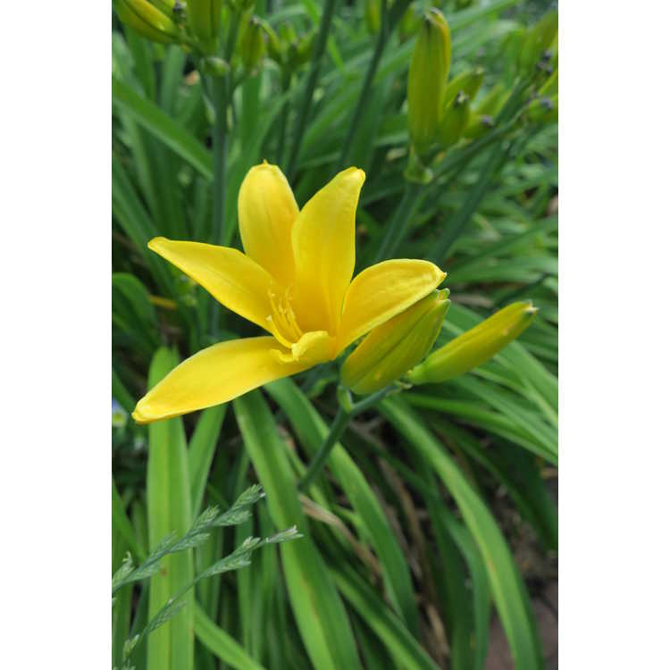 Hemerocallis 'Hortensia' - daylily