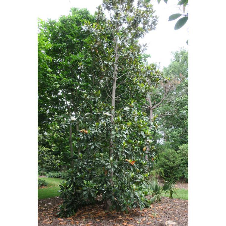 Magnolia grandiflora 'Emerald Spire' - Southern magnolia