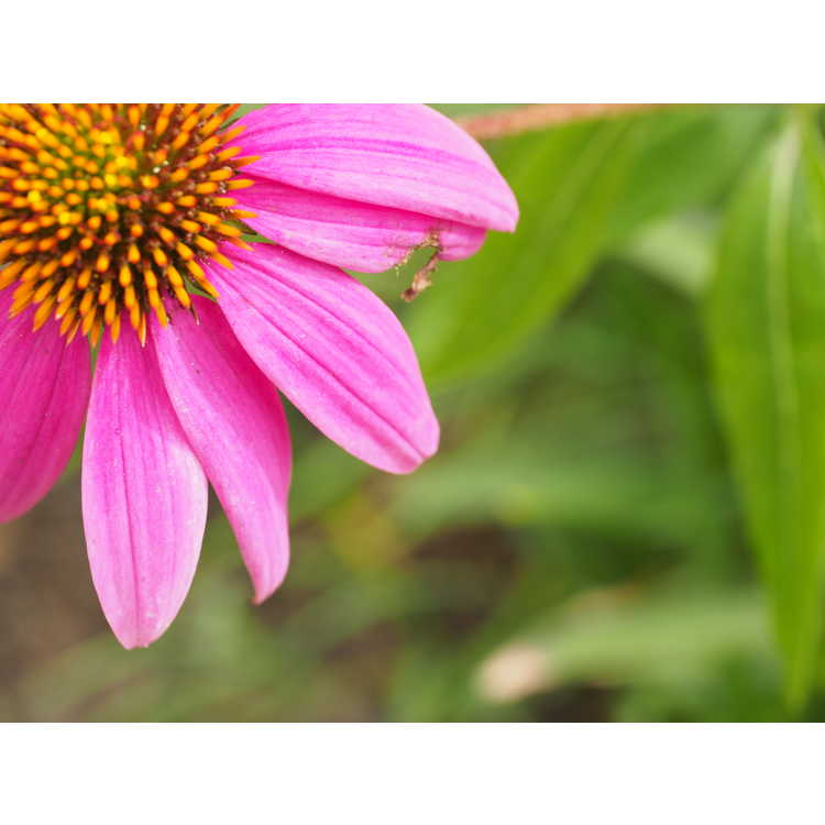 Echinacea purpurea 'Stewarts Pink' - eastern purple coneflower