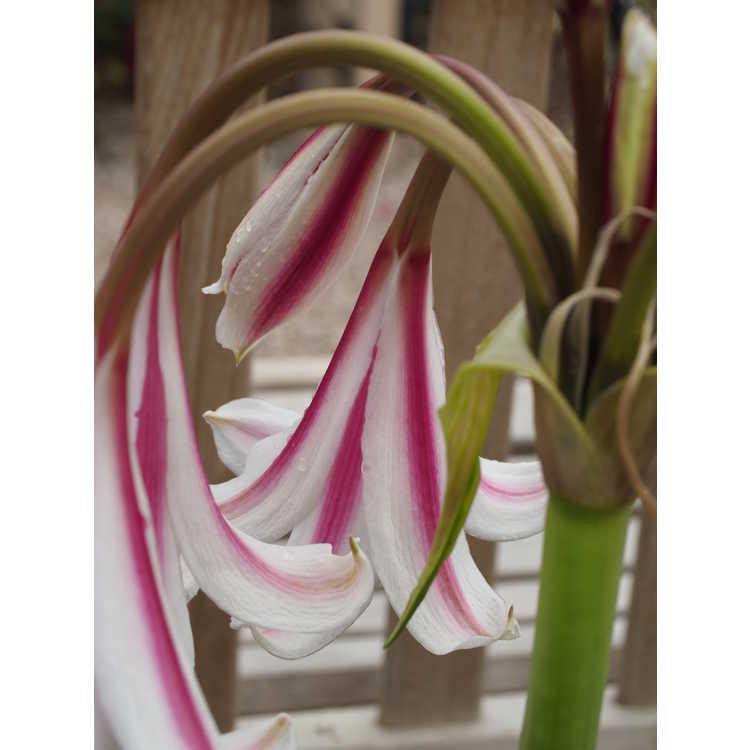 Crinum ×herbertii 'Carol Abbott'