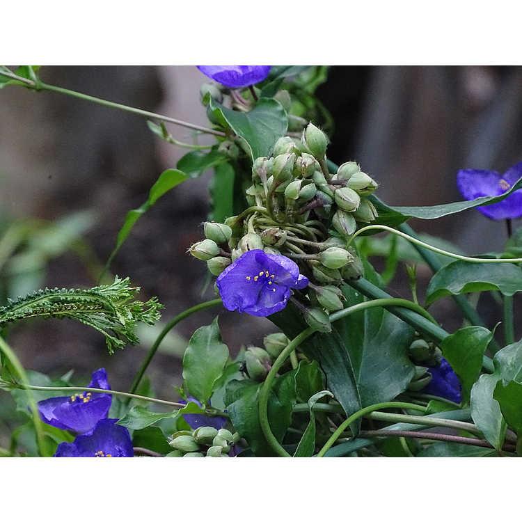 Manettia cordifolia John Elsley