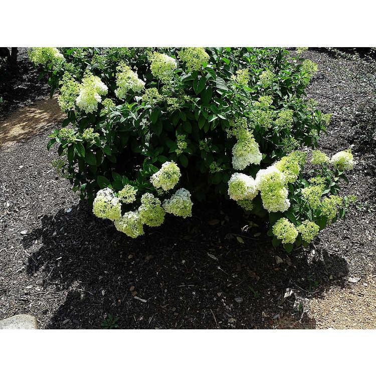 Hydrangea paniculata Ilvobo Bobo