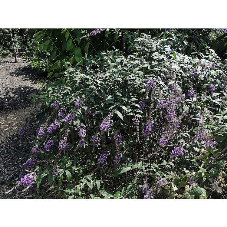 Buddleja 'Ilv Oargus 2' - Inspired Violet butterfly-bush