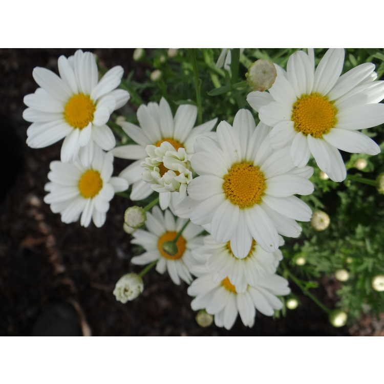 Argyranthemum frutescens G14420 Pure White Butterfly