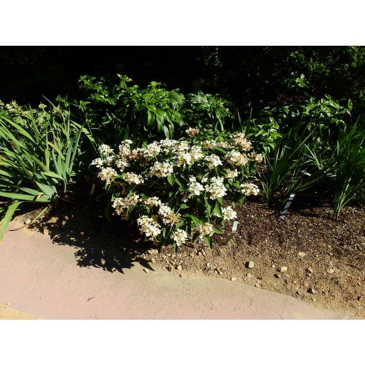 Hydrangea paniculata (ex. 'Dharuma') - panicled hydrangea