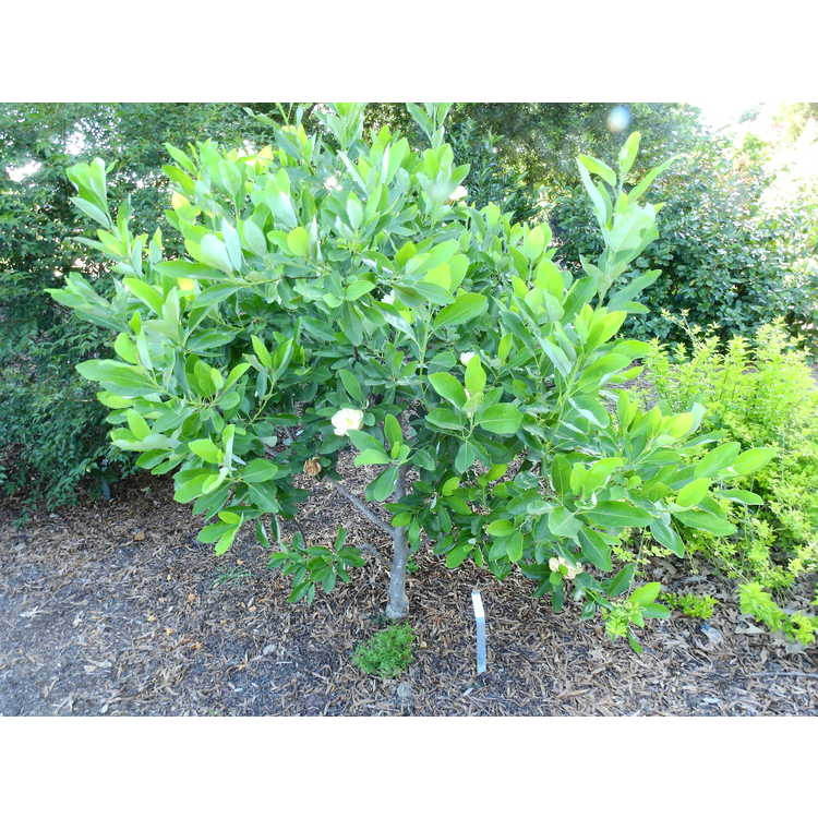 Magnolia virginiana 'Plena' - sweetbay magnolia