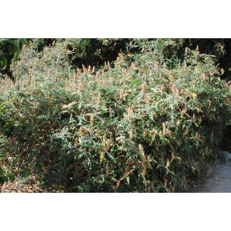 Acanthus sennii - Ethiopian acanthus